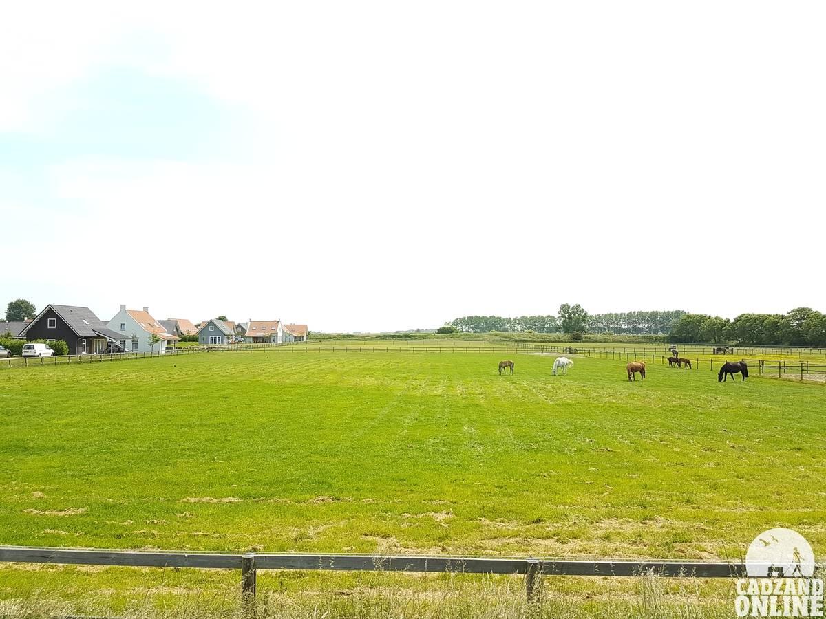 Paarden-in-wei-vakantiehuis-Nieuwvliet